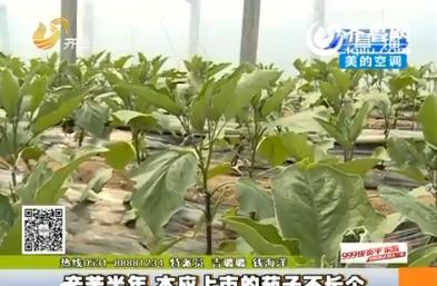青州:辛苦半年 本应上市的茄子不长个