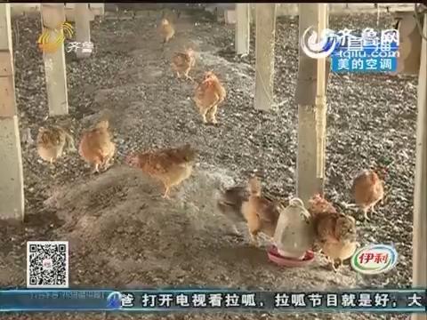 聊城:不知啥品种 这鸡谁都不敢收