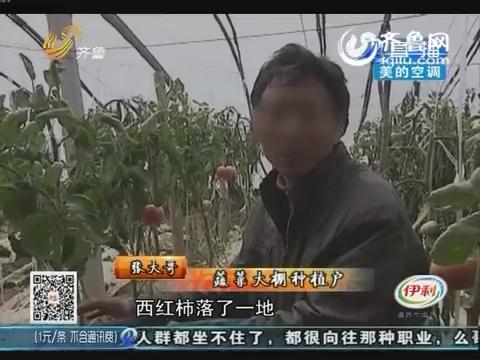 菏泽:招贼!大棚里西红柿被偷走