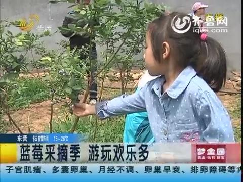博山:有机富硒蓝莓 迎采摘高峰