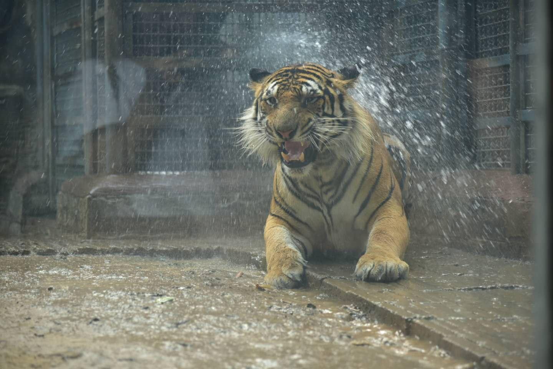 直播回放:济南动物园国宝们咋避暑?