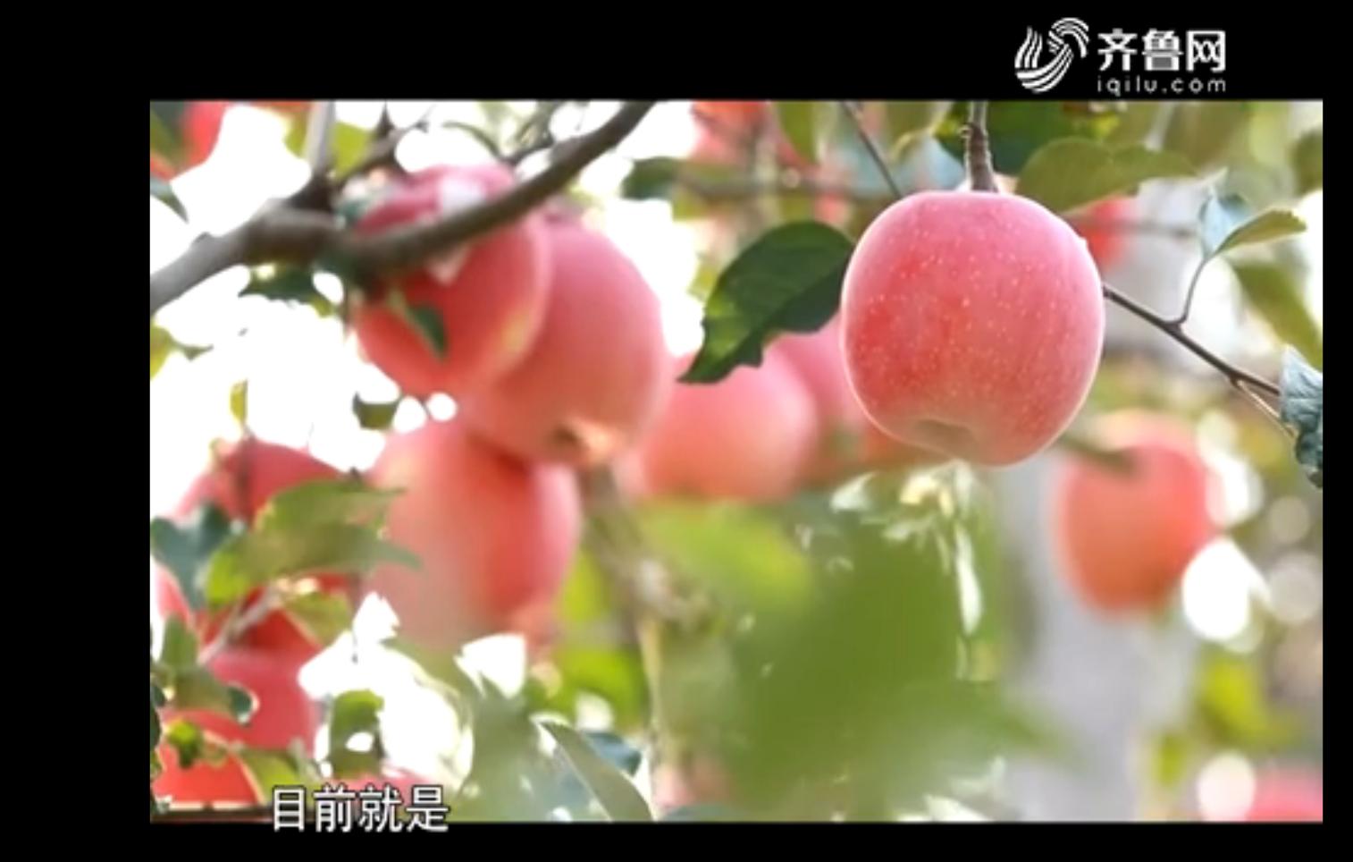 品牌农业在山东:第一个苹果