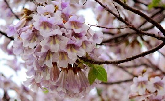 扑面而来——是梧桐花,是小区的梧桐树开出了迷人的花朵.
