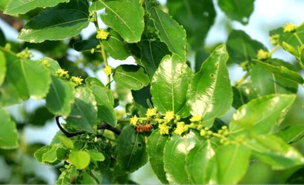 """枣树开花的时候门口飘着阵阵清香,""""嗡嗡""""的蜜蜂会越来越多,它们会酿出"""