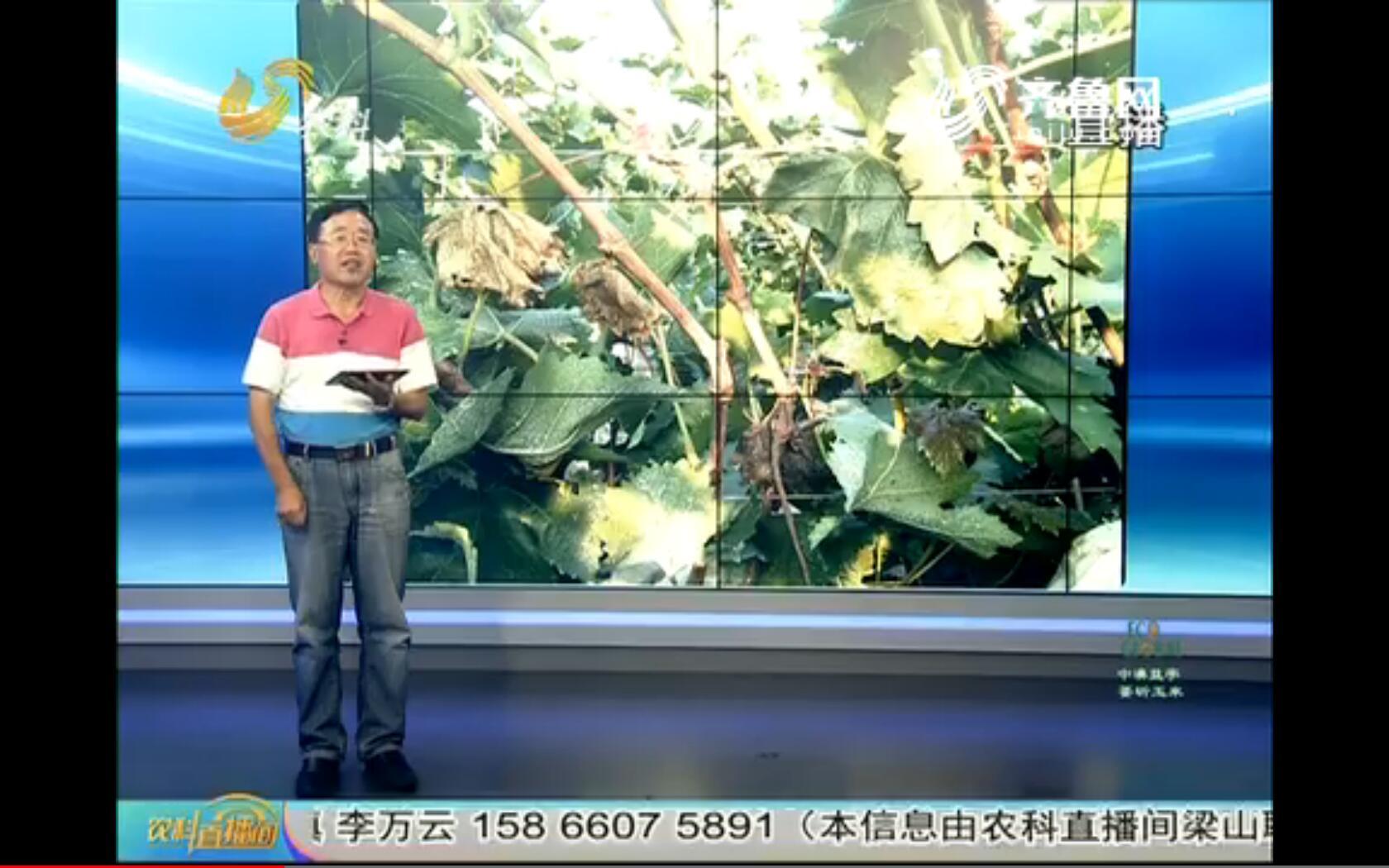 20170814《农科tb988间》:警惕 葡萄霜霉病等果园病虫害爆发
