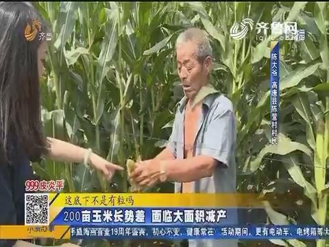 高唐:200亩玉米长势差 面临大面积减产