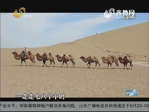 骆驼王子——王宗伟