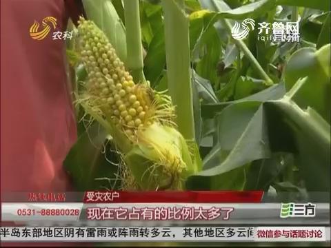 【群众新闻】德州:多地玉米不长槌 畸形穗 到底是咋回事?