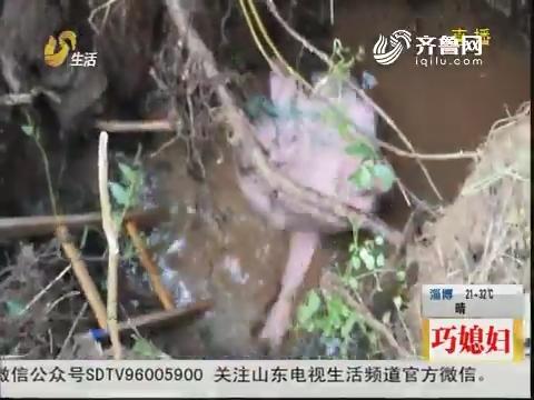 """潍坊:求助!400斤""""二师兄""""掉进深坑"""