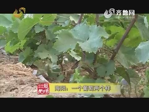 20170822《品牌农资龙虎榜》:海阳——一个葡萄两个样