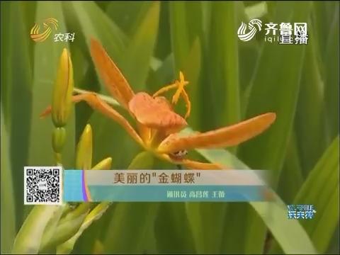 """美丽的""""金蝴蝶"""""""