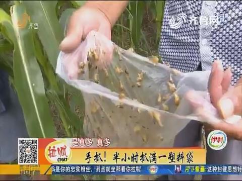 邹平:着急!玉米地里蜗牛成灾