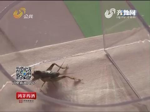 宁阳:蟋蟀交易红火 单只上万元