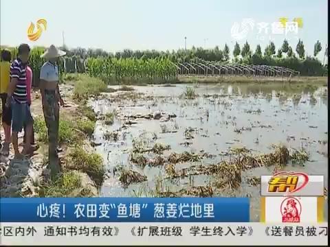 """潍坊:心疼!农田变""""鱼塘"""" 葱姜烂地里"""
