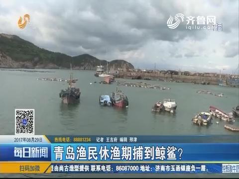 青岛渔民休渔期捕到鲸鲨?