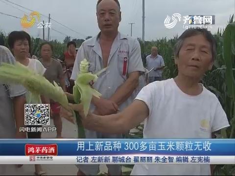 临清:用上新品种 300多亩玉米颗粒无收