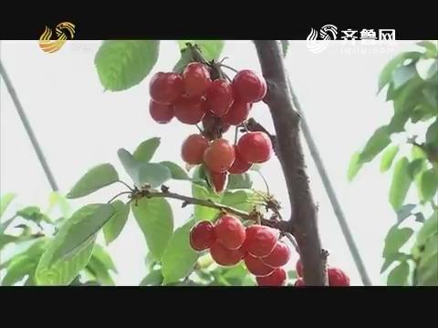 20170904《品牌农资龙虎榜》:临朐 一年回本的樱桃