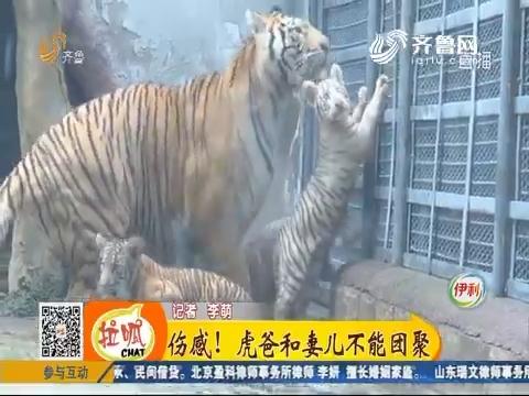 济南:添新丁!三胞胎小虎崽首次亮相