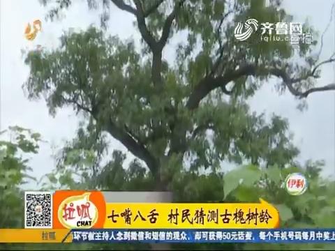 淄博:七嘴八舌 村民猜测古槐树龄