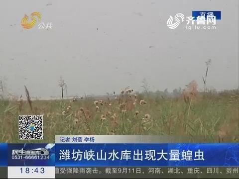 潍坊峡山水库出现大量蝗虫