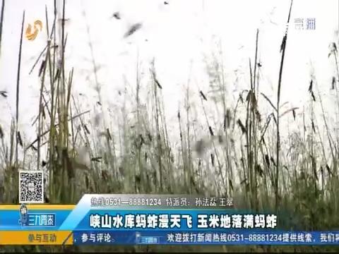 潍坊:峡山水库蚂蚱漫天飞 玉米地落满蚂蚱