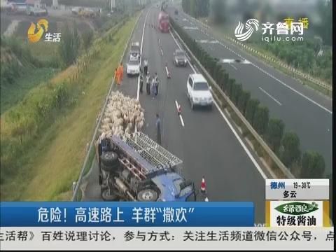 """东营:危险!高速路上 羊群""""撒欢"""""""