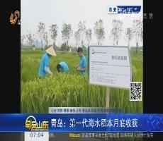 青岛:第一代海水稻9月底收获