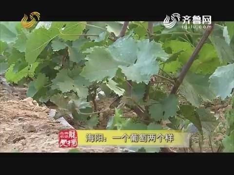 20170919《品牌农资龙虎榜》:海阳 一个葡萄两个样