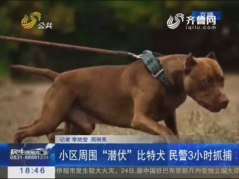 """济南:小区周围""""潜伏""""比特犬 民警3小时抓捕"""
