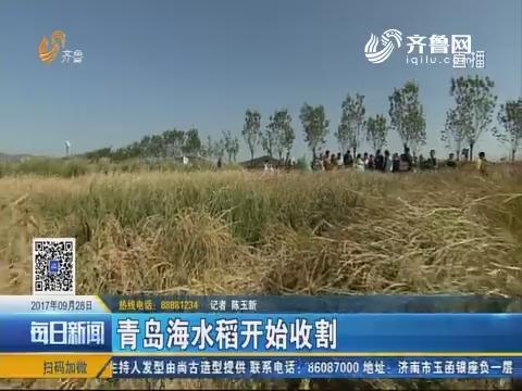 青岛海水稻开始收割