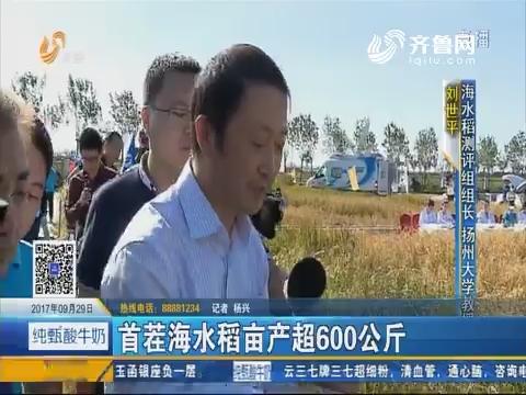 青岛:首茬海水稻亩产超600公斤