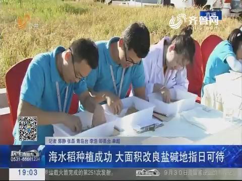 青岛:海水稻种植成功 大面积改良盐碱地指日可待