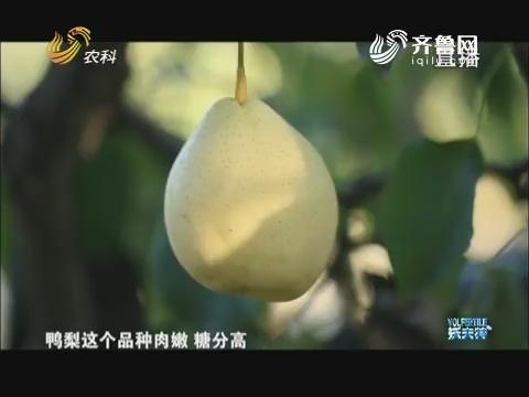 品牌农业在山东 黄河故道上的高档梨