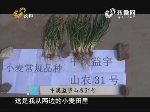 20171007《当前农事》:中澳益宇山农31号