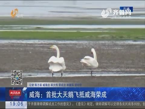 威海:首批大天鹅飞抵威海荣成