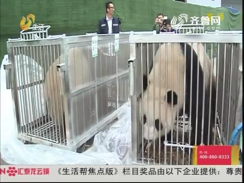 """熊猫凌晨上""""专车"""" 运往机场"""