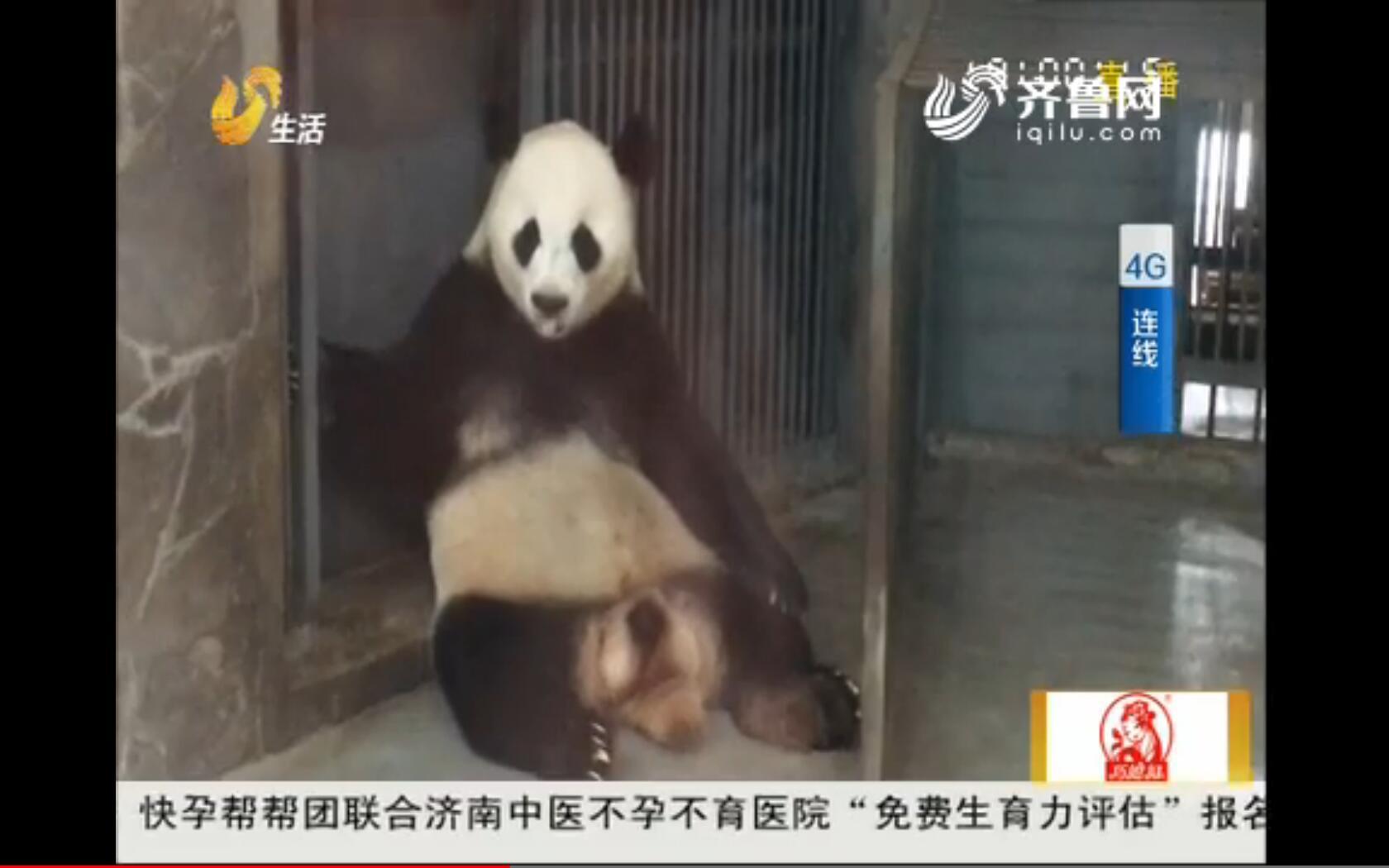 【4G连线】成都:两只大熊猫即将串笼