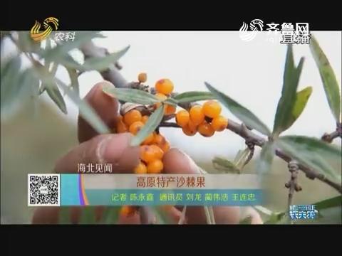 【海北见闻】高原特产沙棘果
