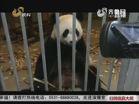 """【群众新闻】济南又添俩""""国宝""""大熊猫"""