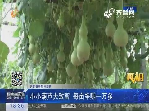 【真相】聊城:小小葫芦大致富 每亩净赚一万多