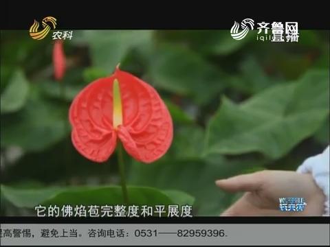 南京农业嘉年华见闻:荷兰大棚种出优质红掌