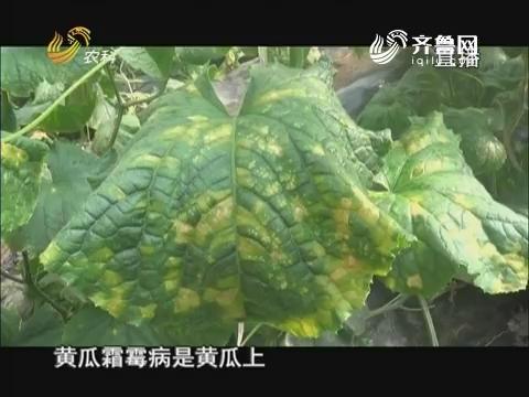 20171020《当前农事》:黄瓜霜霉病