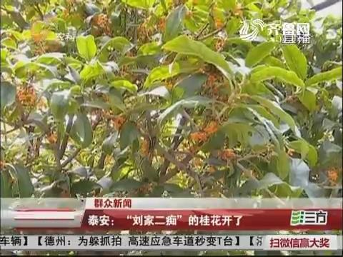 """【群众新闻】泰安:""""刘家二痴""""的桂花开了"""