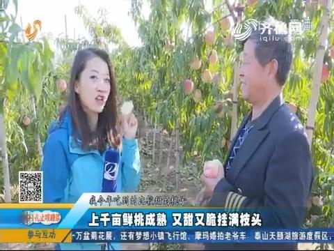 青岛:上千亩鲜桃成熟 又甜又脆挂满枝头