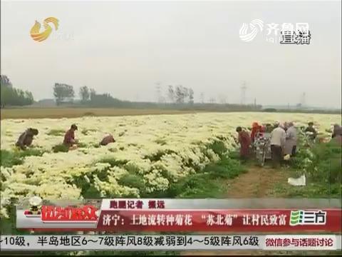 """济宁:土地流转种菊花""""苏北菊""""让村民致富"""