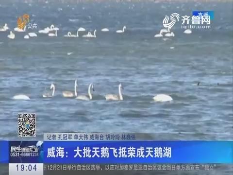 威海:大批天鹅飞抵荣成天鹅湖