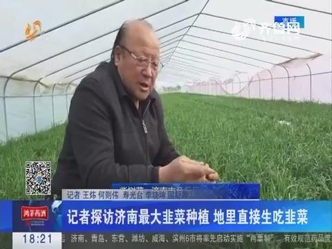 记者探访济南最大韭菜种植 地里直接生吃韭菜