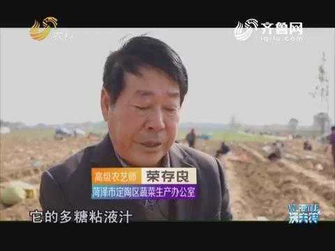 品牌农业在山东:陈集山药