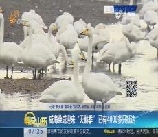 """威海荣成迎来""""天鹅季"""" 已有4000多只抵达"""