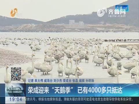 """荣成迎来""""天鹅季"""" 已有4000多只抵达"""